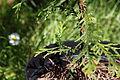 Thuja plicata juvenile foliage.JPG