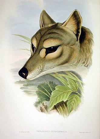 The Mammals of Australia - Image: Thylacinus cynocephalus Gould