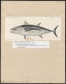 Thynnus alalonga - 1700-1880 - Print - Iconographia Zoologica - Special Collections University of Amsterdam - UBA01 IZ13500210.tif