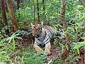 Tiger at Tadoba.jpg