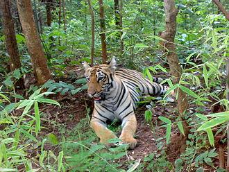 Tadoba Andhari Tiger Project - Tiger at Tadoba