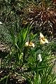 Tigridia pavonia, Conservatoire botanique national de Brest 03.jpg