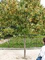 Tilia henryana-Jardin des Plantes 06.JPG