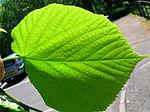 Tiliaxcordata leaf underidé.   JPG