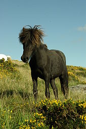 Photo de trois-quart face d'un poney Dartmoor.