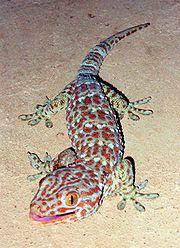 Tokay Gecko.jpg