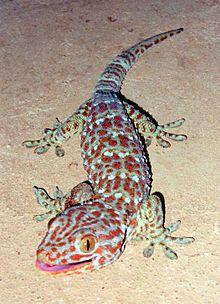 [Imagem: 220px-Tokay_Gecko.jpg]