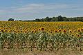 Tournesol en Charente Maritime.jpg