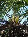 Trachycarpus fortunei, pied mâle.JPG