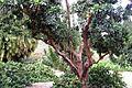 Tree in botanic garden Adelaide.jpg