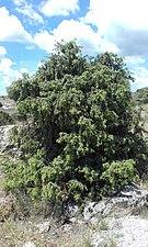 Tree near manzanares.jpg
