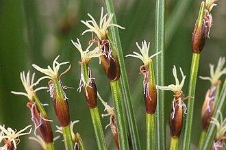 Trichophorum - Trichophorum cespitosum