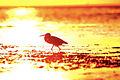 Tricolored-heron-sunset.jpg