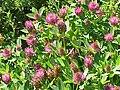 Trifolium medium1.jpg
