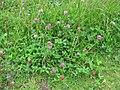 Trifolium pratense habit2 (10733401005).jpg