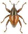 Trigonopterus rhomboidalis holotype - ZooKeys-280-001-g070.jpg