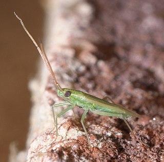 <i>Trigonotylus caelestialium</i> Species of true bug