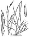 Triplasis purpurea BB-1913.png