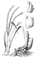 Tripsacum dactyloides HC-1950.png
