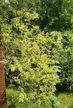 Tripterygium hypoglaucum BotGardBln07122011B.jpg