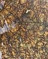 Tristicha trifaria MS 1154-2.jpg