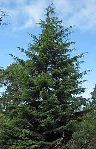 Tsuga - Tsuga heterophylla