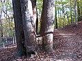Tulip Tree Quintuplets (30927207495).jpg