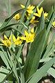 Tulipa hissarica 05.jpg