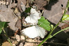 Turks-cap white-skipper (Heliopetes macaira) male + female dorsal.jpg