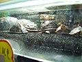 Turtles in Mong Kok.jpg