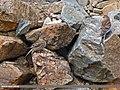 Twite (Carduelis flavirostris) (28494965441).jpg