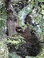 Ulmus glabra. Burr on trunk. Royal Terrace Gardens, Edinburgh (2).jpg