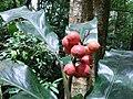 Unidentified Zingiberaceae IMG20170831131536.jpg
