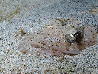 Platycephalidae - A Platycephalidae buried in the sand (Komodo, Indonesia)