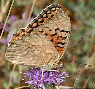 <i>Speyeria adiaste</i> species of butterfly