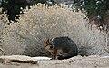 Urocyon cinereoargenteus grayFox cameo.jpg