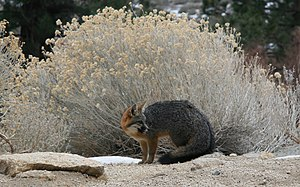 Gray fox - Gray fox, showing black tail stripe, Sierra Nevada