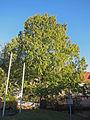 Urweltmammutbaum Gemünden, 4.jpg