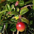 Vaccinium vitis-idaea (fruits).JPG