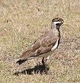 Vanellus tricolor -Rottnest Island, Australia -juvenile-8.jpg
