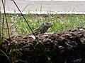 Varanus niloticus 0004.jpg