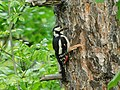 Veliki detlić, ženka (Dendrocopos major), Great Spotted Woodpecker, female.jpg