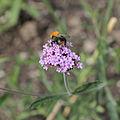 Verbena bonariensis-IMG 3634.jpg