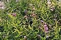 Verbena bonariensis 16zz.jpg