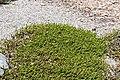 Veronica epacridea in Christchurch Botanic Gardens 02.jpg