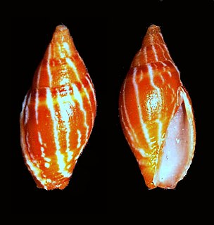 Costellariidae Family of sea snails