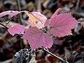Viburnum acerifolium (30980757126).jpg