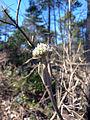Viburnum lantana flower buds.JPG