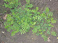 Vicia cracca young plant, vogelwikke jonge plant (3).jpg