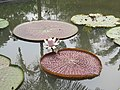 Victoria amazonica - Giant Water Lily at Nilambur (4).jpg